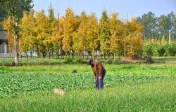 pengzhou för porslinbondefält Fotografering för Bildbyråer