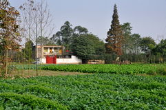 Pengzhou Kina:  Fält av rädisor på den Sichuan lantgården Royaltyfri Bild