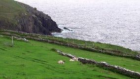 Penhascos da Irlanda com os carneiros no primeiro plano filme