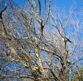 Penicillatus emplumé blanc savoureux de Honeyeater Lichenostomus Images stock