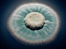 Penicillium Στοκ Φωτογραφία