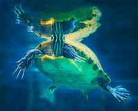 Peninsula Cooter Turtle Surface Breathing Stock Photo