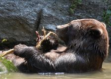 Peninsular bear floating in the wild taking a bath Royalty Free Stock Images
