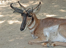 Free Peninsular Pronghorn Royalty Free Stock Photo - 73882745