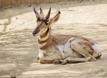 Peninsular Pronghorn antelope. Peninsular Pronghorn is a ruminant animal; the oldest ungulates of North America Stock Photo