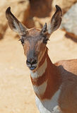 Peninsular Pronghorn Stock Image
