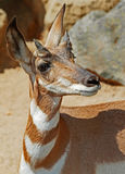 Peninsular Pronghorn Royalty Free Stock Photo