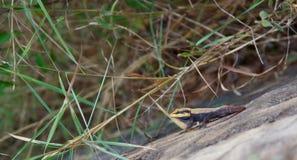 Peninsular Rockowy Agama - Nilgiris Lasowa jaszczurka na skale Fotografia Royalty Free