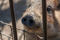 Penique sucio del cerdo Fotos de archivo
