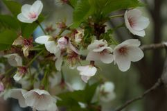 Άσπρα άνθη στο κράτος Penn στοκ εικόνα με δικαίωμα ελεύθερης χρήσης