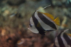 Pennant Butterflyfish Heniochus acuminatus. Has black and white stripes with a yellow tail and larger eyes Stock Images