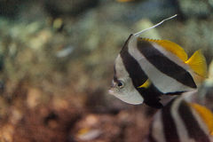 Pennant Butterflyfish Heniochus acuminatus Stock Photo