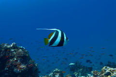 Pennant coralfish Royalty Free Stock Photography