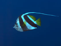 Pennant coralfish Stock Photos