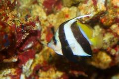 Pennant coralfish. (Heniochus acuminatus) in Japan Royalty Free Stock Photos
