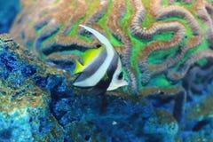 Pennant coralfish Stock Photo