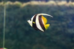 Pennant coralfish Stock Image