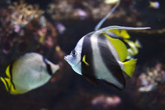 Pennant Coralfish or Longfin Bannerfish Heniochus acuminatus Royalty Free Stock Image