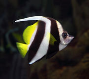 Pennant coralfish underwater Royalty Free Stock Images