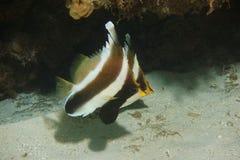 Pennantfish del threeband del chrysostomus de Heniochus de los pescados Foto de archivo