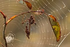 Pennata d'Empusa sur l'épine sur un fond des toiles d'araignée photo libre de droits
