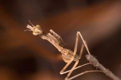 pennata mantis empusa Стоковое Изображение
