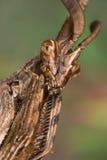 pennata mantis empusa Стоковое Фото