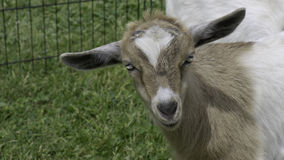 Penned Fainting Goat Stock Image