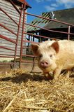 Penned Piglet. Piglet in pen surrounded by old farm buildings Royalty Free Stock Images