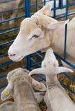Penned Sheep and Lamb. Lamb stretching up to sheep Royalty Free Stock Photo