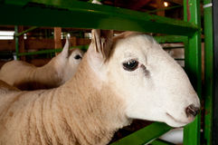Penned Sheep (Ovis aries) Stock Images