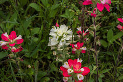 Pennello indiano bianco Fotografie Stock