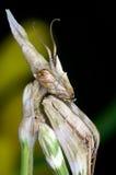 Pennicornis di Empusa Fotografia Stock Libera da Diritti