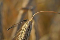 Pennipes di Platycnemis su un orecchio del grano Fotografia Stock Libera da Diritti
