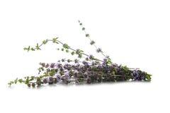 Penniroyal lub mentha pulegium ziele odizolowywający na bielu Zdjęcia Royalty Free