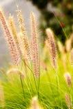 Penniselum gräs i rött eller purpurfärgat dekorativt gräs arkivfoton
