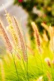 Penniselum gräs i rött eller purpurfärgat dekorativt gräs royaltyfria foton