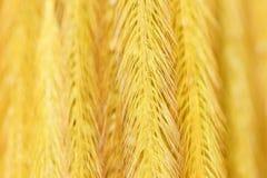 Pennisetum пера золота группы предпосылки, трава полета Стоковая Фотография