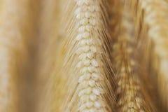 Pennisetum пера коричневого цвета группы предпосылки, трава полета Стоковые Фото