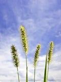 Pennisetum alopecuriodes Στοκ εικόνα με δικαίωμα ελεύθερης χρήσης