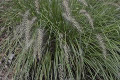 Pennisetum alopecuroides called as dwarf fountain grass. Pennisetum alopecuroides with long leaf-blades erect and drooping with flower like fountain stock photo