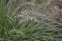 Pennisetum alopecuroides called as dwarf fountain grass. Pennisetum alopecuroides with long leaf-blades erect and drooping with flower like fountain royalty free stock images