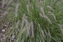 Pennisetum alopecuroides called as dwarf fountain grass. Pennisetum alopecuroides with long leaf-blades erect and drooping with flower like fountain stock photography