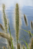Pennisetum alopecuroides - Canada Bay. Focused on one of the seed heads royalty free stock images