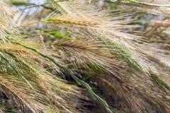 Pennisetum Alopecuroides - Fonteingras Stock Foto