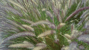 Pennisetum. Alopecuroides, located in city stock photo