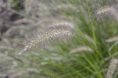 Pennisetum alopecuroides called as dwarf fountain grass. Pennisetum alopecuroides with long leaf-blades erect and drooping with flower like fountain royalty free stock photography