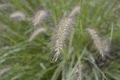 Pennisetum alopecuroides called as dwarf fountain grass. Pennisetum alopecuroides with long leaf-blades erect and drooping with flower like fountain stock images