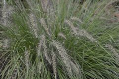 Pennisetum alopecuroides called as dwarf fountain grass. Pennisetum alopecuroides with long leaf-blades erect and drooping with flower like fountain stock image