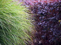 Pennisetum alopecuroides and Physocarpus opulifolius Diabolo. Nature backround - green foxtail fountain grass and purple dwarf ninebark Stock Photo